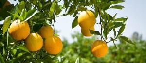 Orange-GroveLong